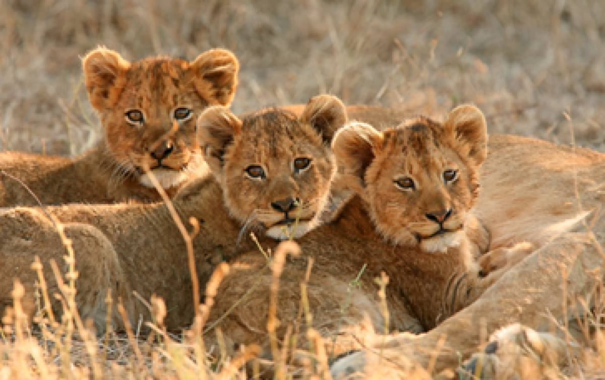 LEADING ECOTOURISM OPERATORS JOIN FORCES TO LAUNCH THE LIONSCAPE COALITION USING ECOTOURISM TO EFFECT CONSERVATION CHANGE