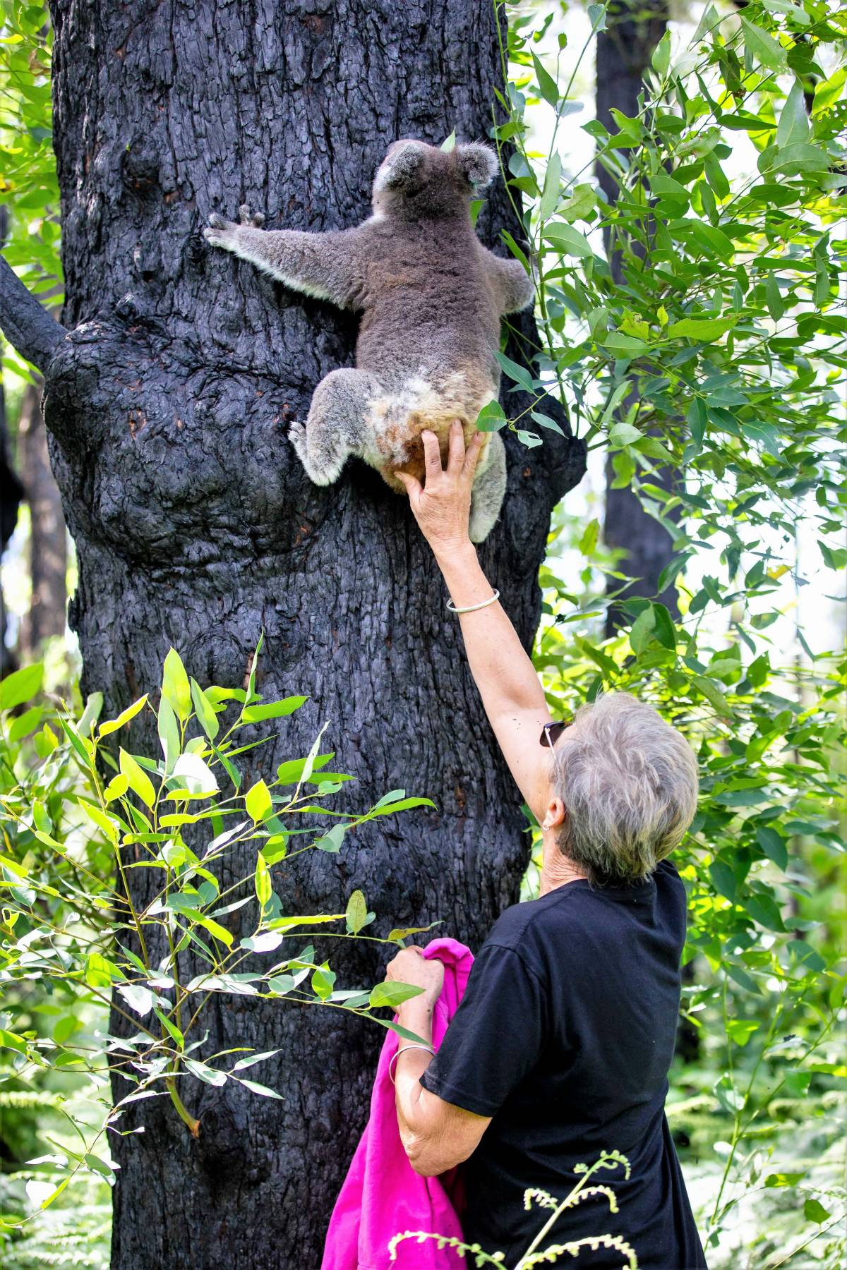 Against All Odds: Koala Star Anwen Returns to Australia's Bushland After a Full and Speedy Recovery