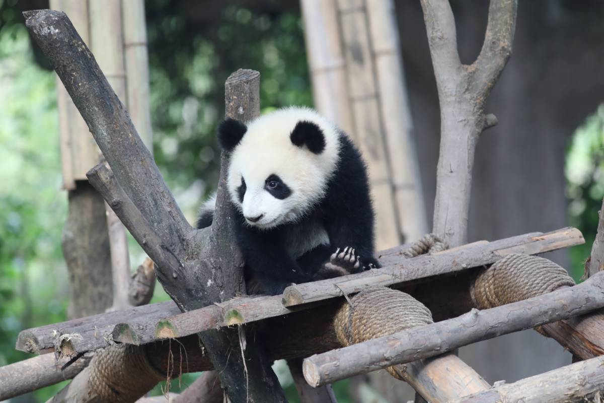 The First Digital International Panda Festival Opens in Meishan, China
