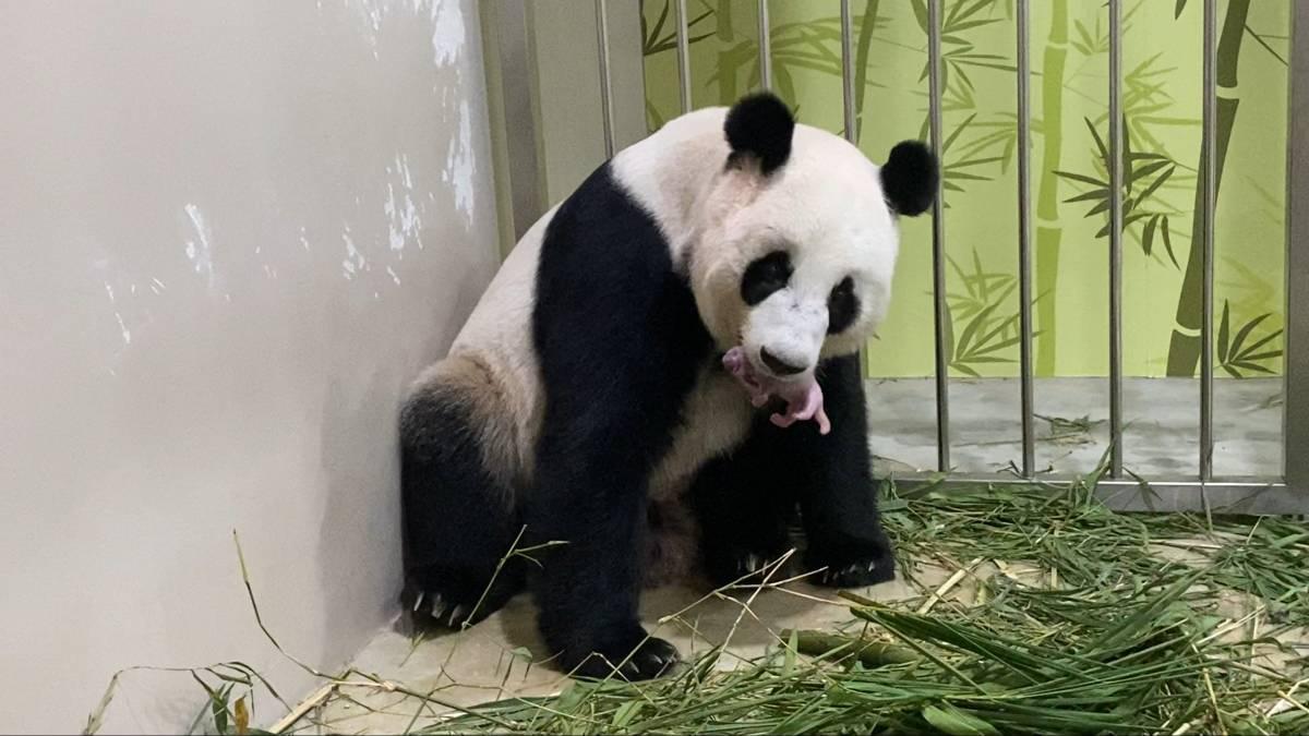 Singapore Welcomes First Giant Panda Cub At River Safari