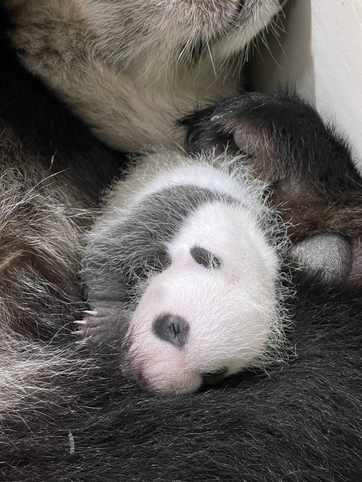 SINGAPORE'S FIRST GIANT PANDA CUB IS A HEALTHY BABY BOY